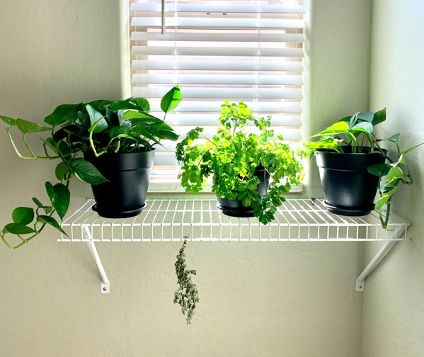 How to Dry Oregano Leaves