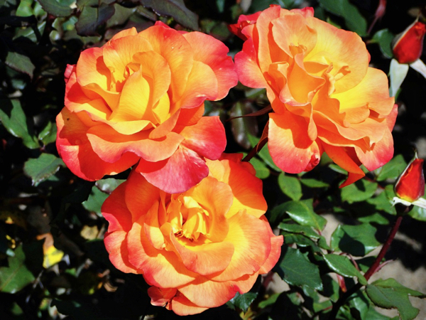 Rose Gardening Tips for Beginners to Pros