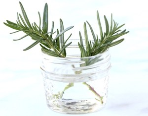 How to Grow Rosemary from Cuttings Tip