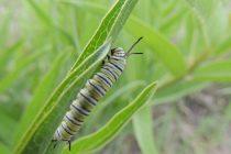 Monarch caterpilar