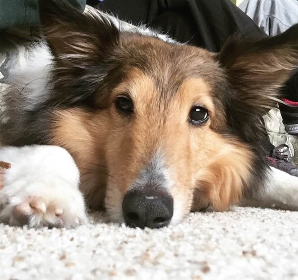 Riley the sheltie