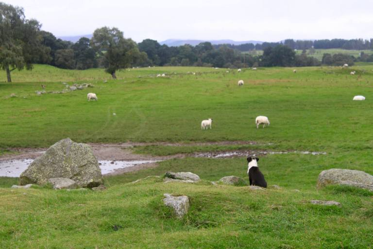 Sheepdog puppy looking out over farm in Scotland