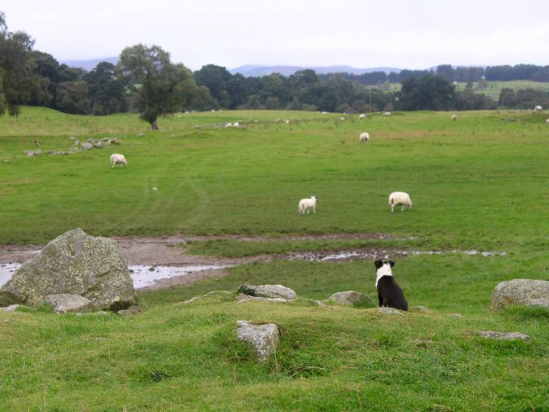 Sheepdog puppy looking out over a green field dotted with sheep