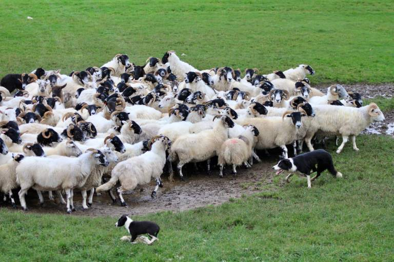 Border collie rounding up a group of sheep as a puppy watches. One of the best things you can do on your one week in Scotland itinerary is visit some sheepdogs!