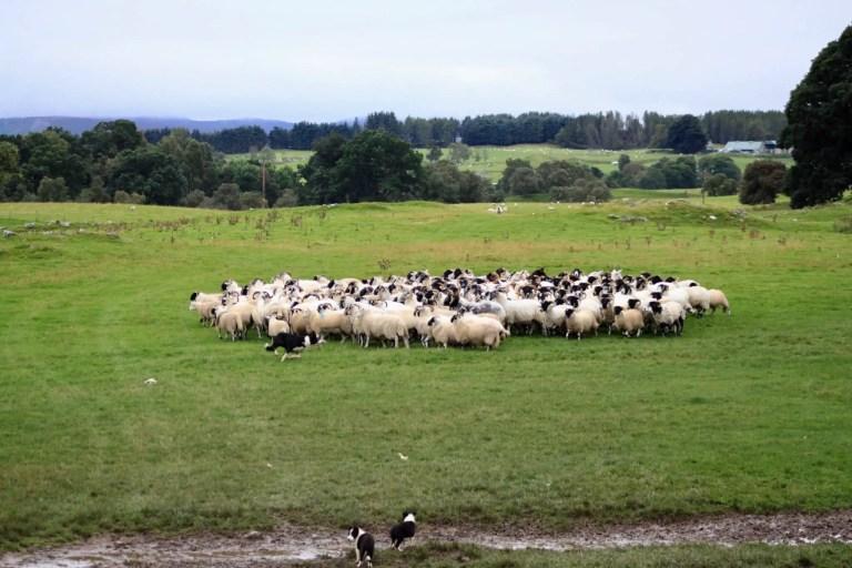 Sheepdog circles a group of sheep in Scotland
