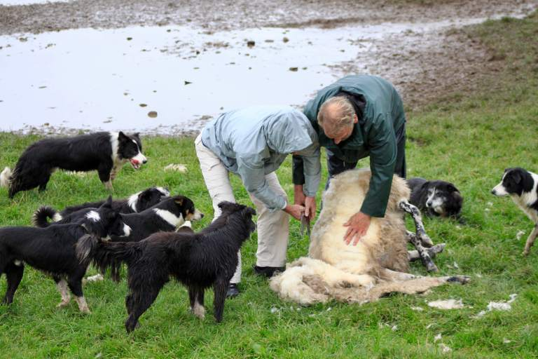 Papa M shearing a sheep with border collies looking on.