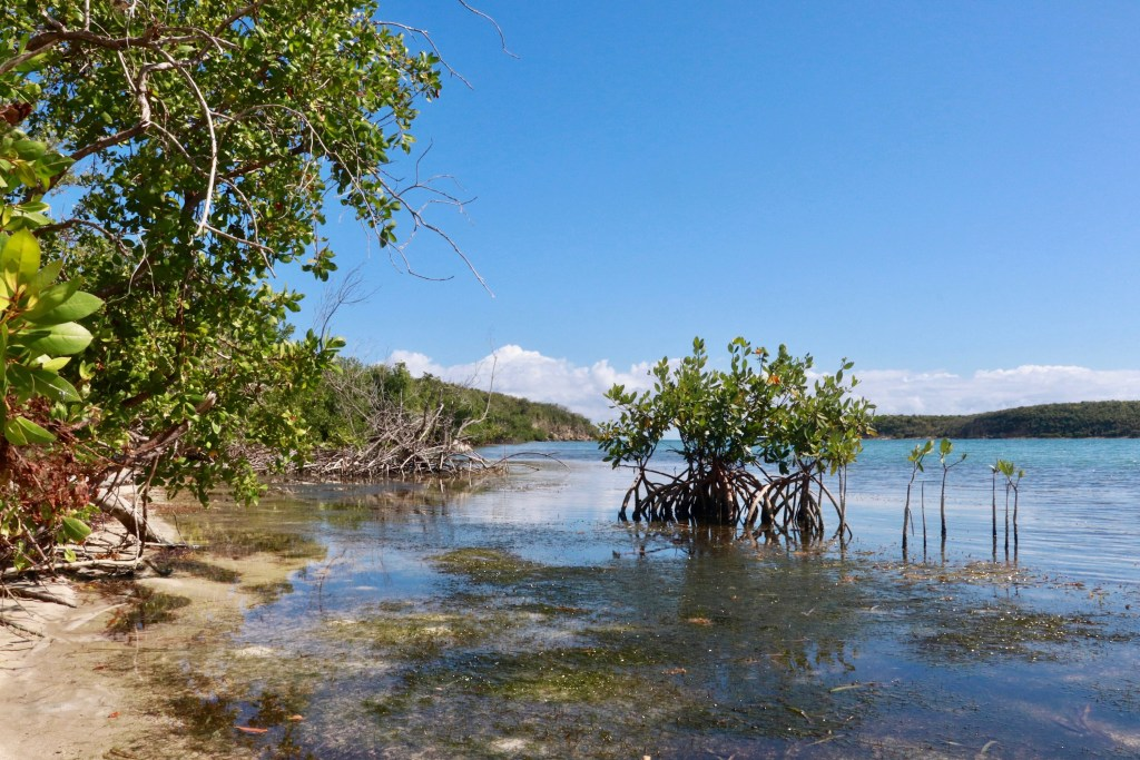 Mangroves sticking out of the water on Vieques