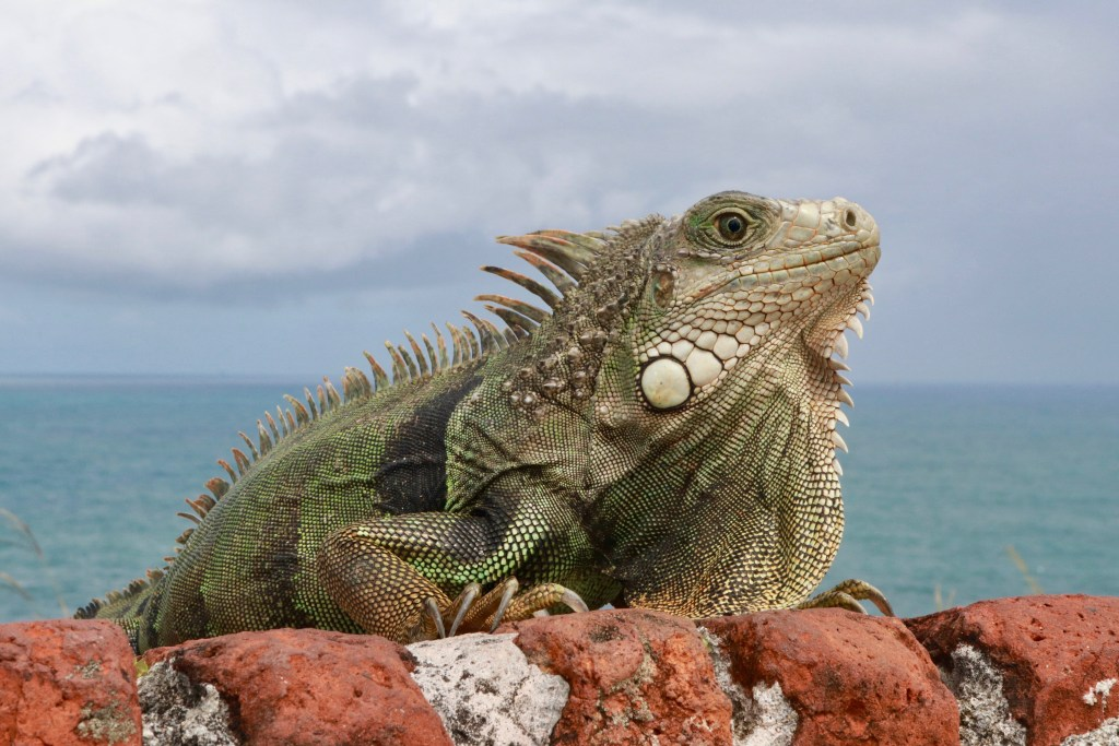 Scaly iguana perched on the battlements
