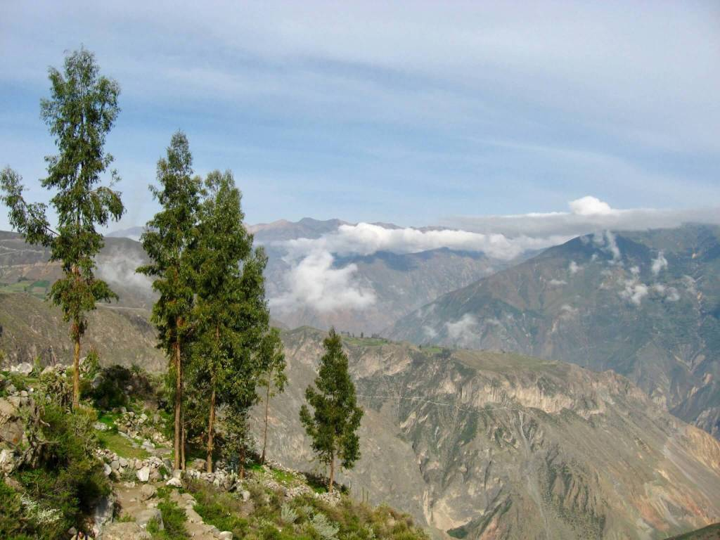 The top of Colca Canyon: looking out over the mountains with pine trees in the foreground