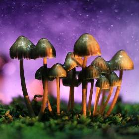 shrooms, Buy Magic Mushrooms Online in Canada, The Fun Guys
