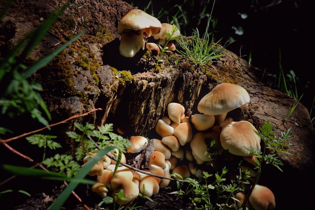 Order Shrooms Online, Canadians Can Now Order Shrooms Online From a Dispensary, The Fun Guys
