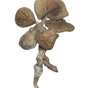 Golden Teacher Strain – Dried Mushroom
