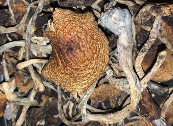 Cambodian Cubensis – Dried Mushroom