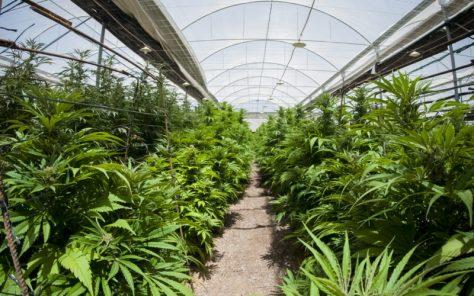 Cannabis-Greenhouse