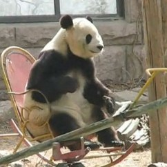 Lay Out Chair Desk Melbourne Panda Chills In Rocking [video]