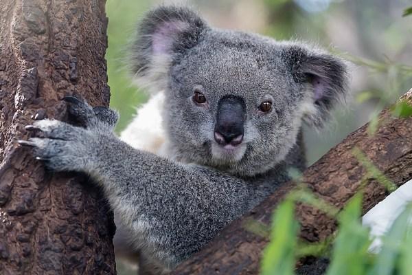 Cute Koala Wallpaper Oof Poor Koala Runs Smack Into A Mean Tree