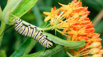 A monarch caterpillar feeding on butterfly milkweed