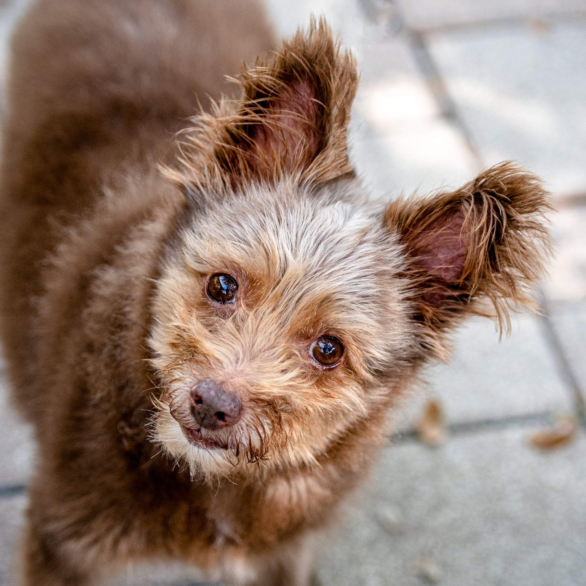 A small brown fuzzy dog with pointy ears.
