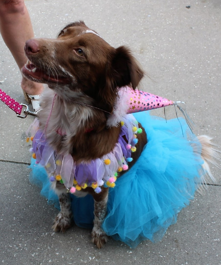A small brown dog in a ballerina costume siting on the sidewalk