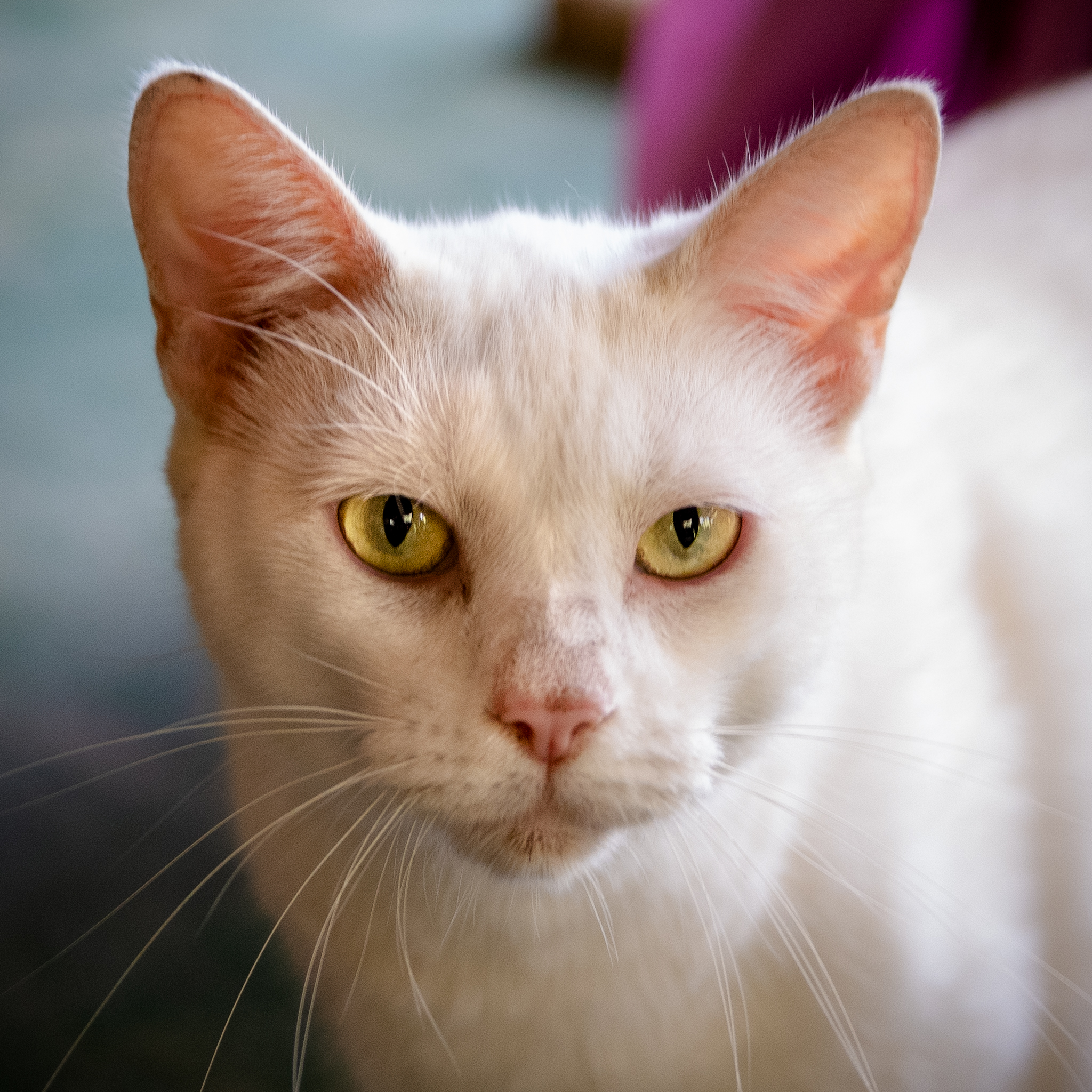 A close up head shot of a white cat