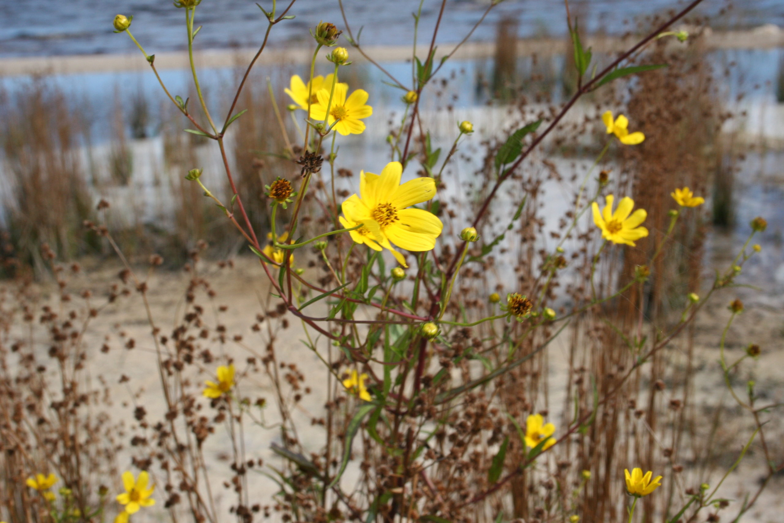 Central Florida yellow flowers by Cathy Salustri
