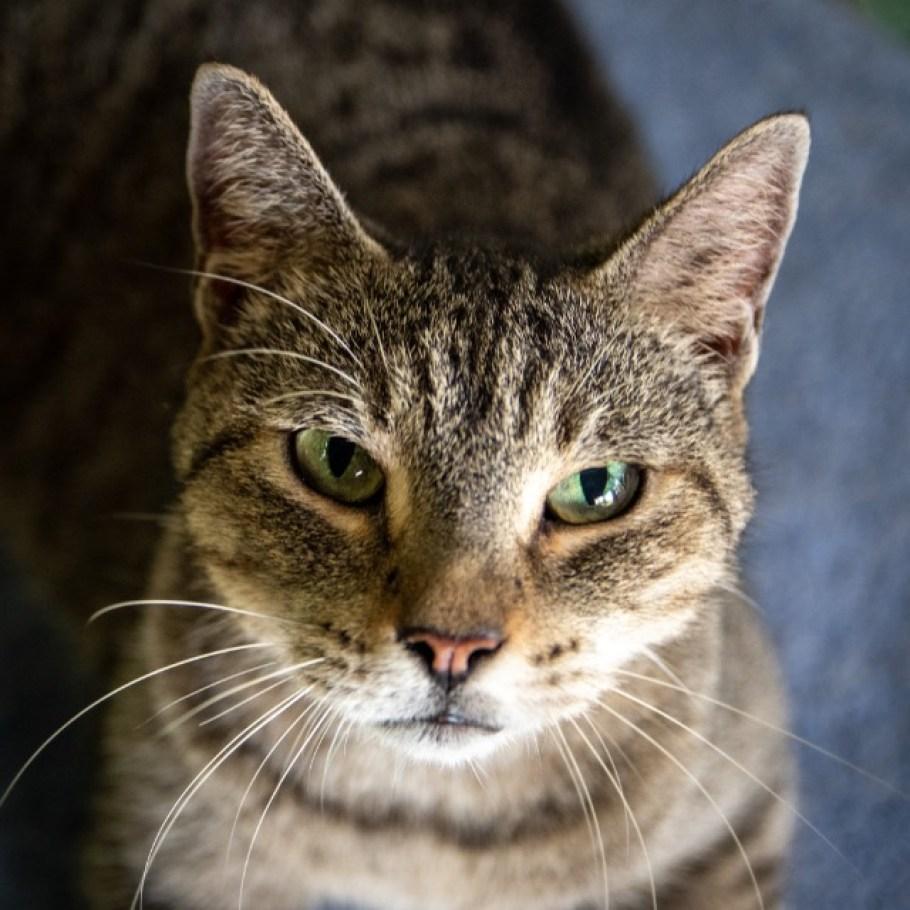 A headshot of a gray tabby cat.