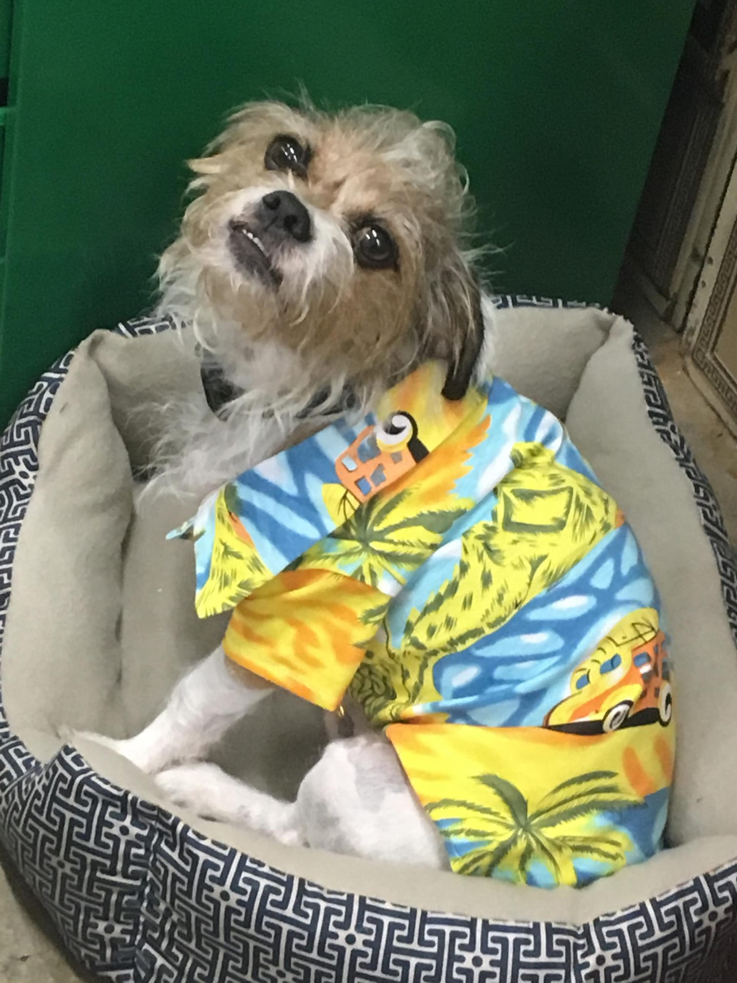 A dog in a dog bed wearing a yellow Hawaiian shirt.