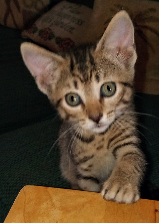 A small gray tabby kitten.