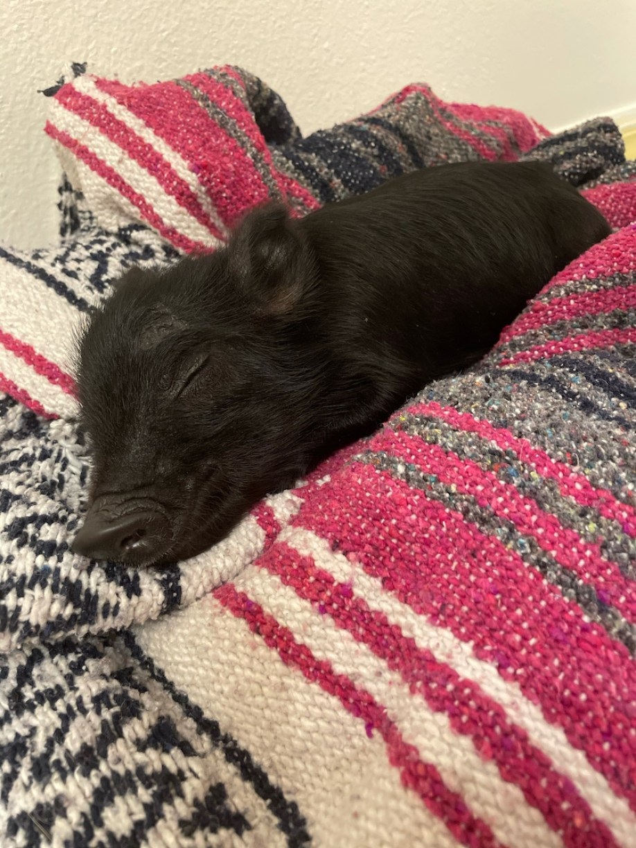 A small black pig on a red and white blanket