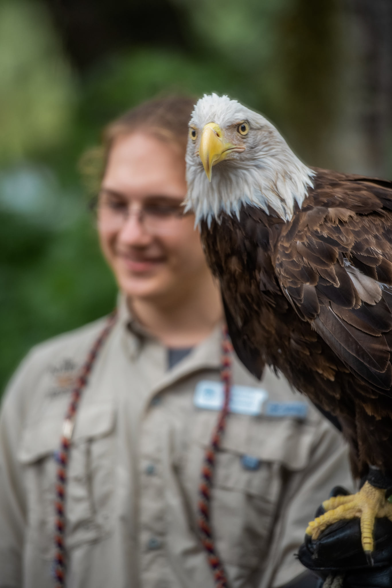Abald eagle in the foreground with a handler blurred in the background
