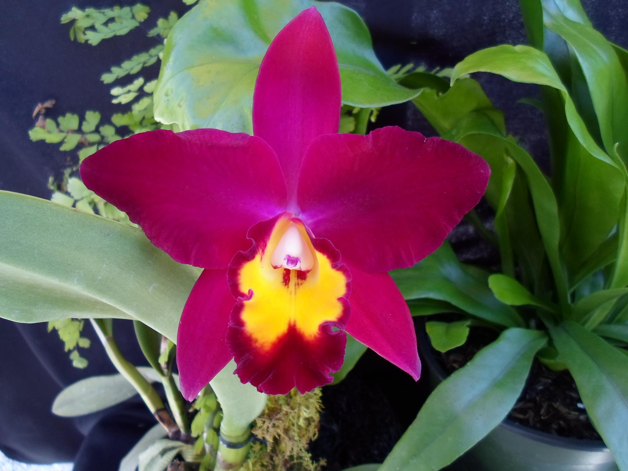 A purple and yellow orchid on a stem