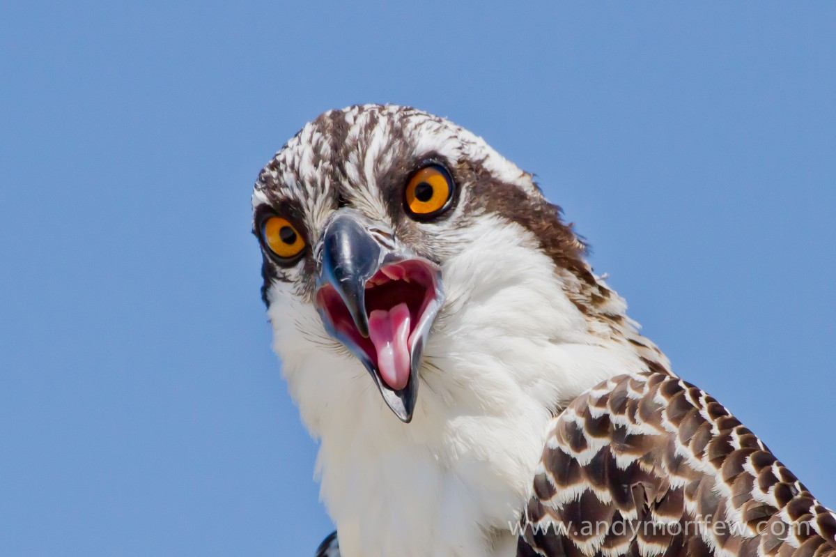 An osprey headshot with mouth open