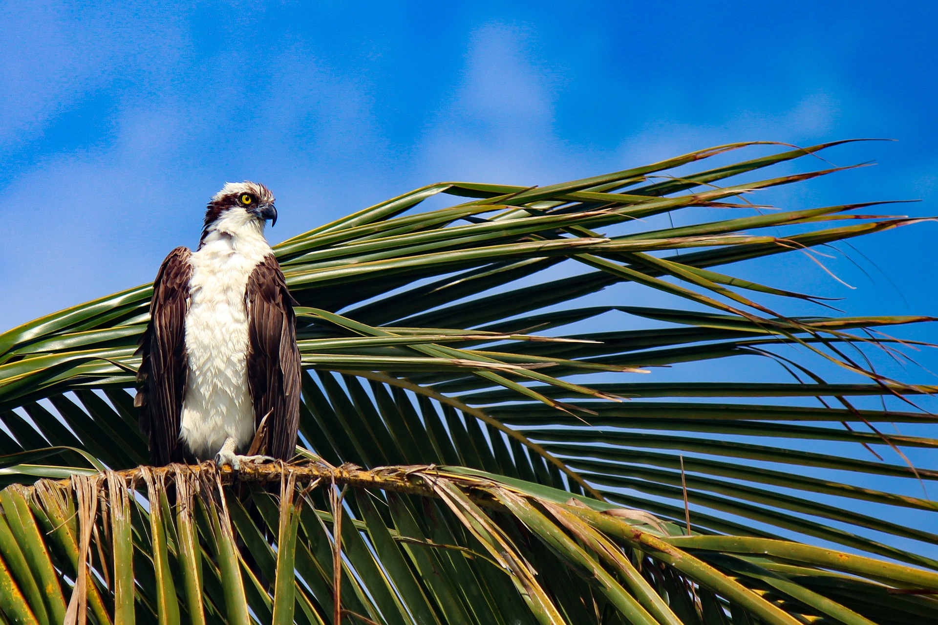 An osprey sitting on a palm tree frond