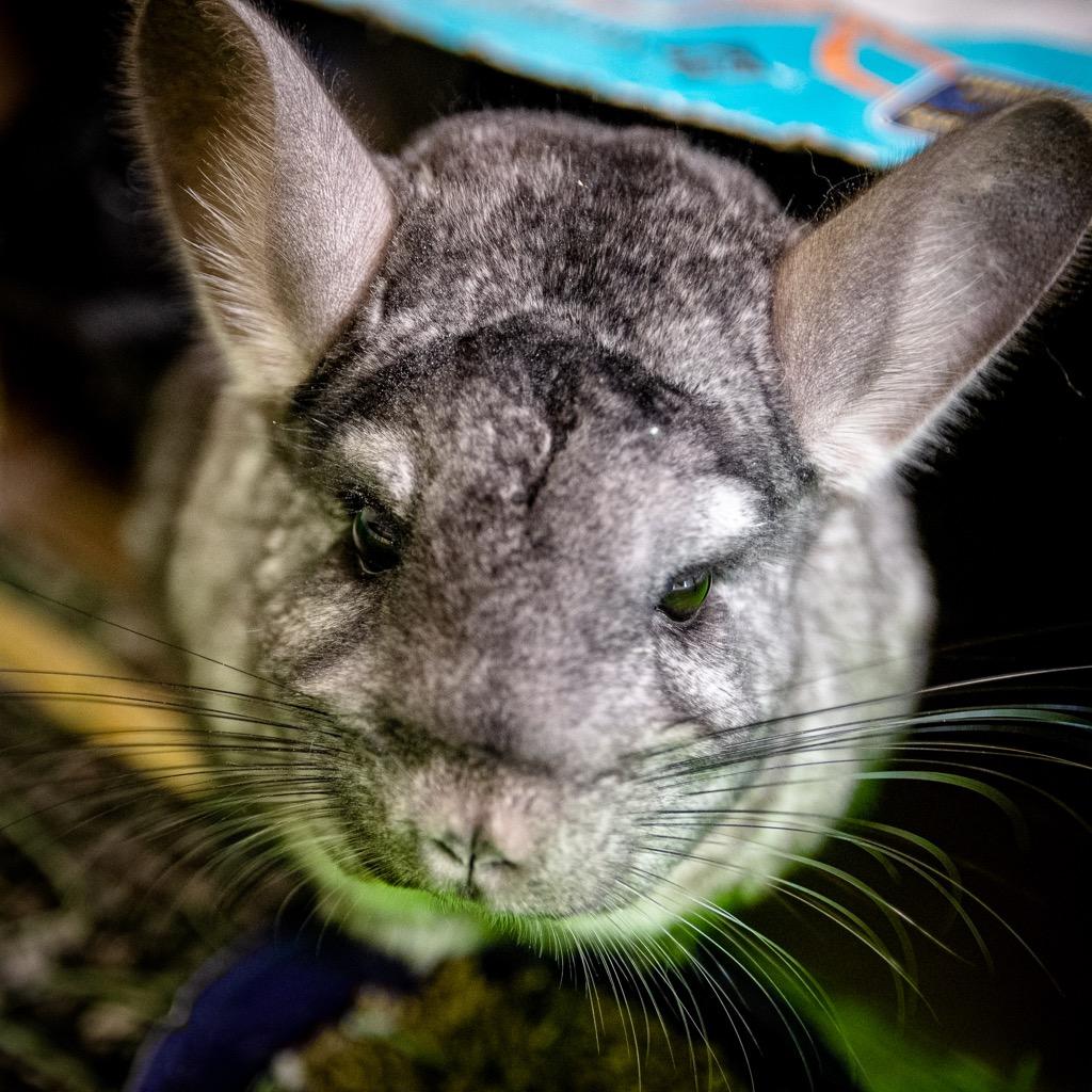 A close-up photo of a gray chinchilla
