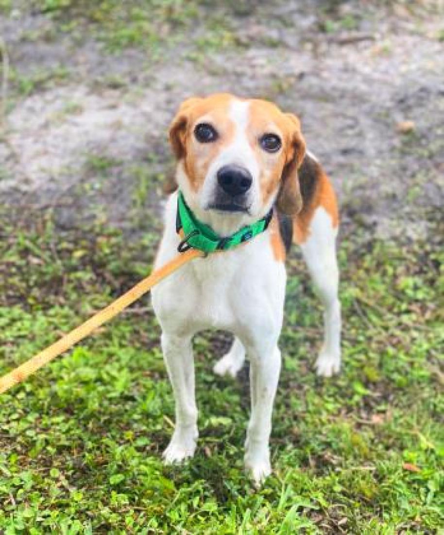 A hound type dog on a leash