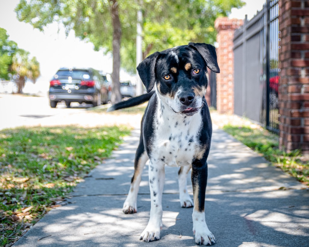 A black and white dog looking at the camera from a sunny sidewalk