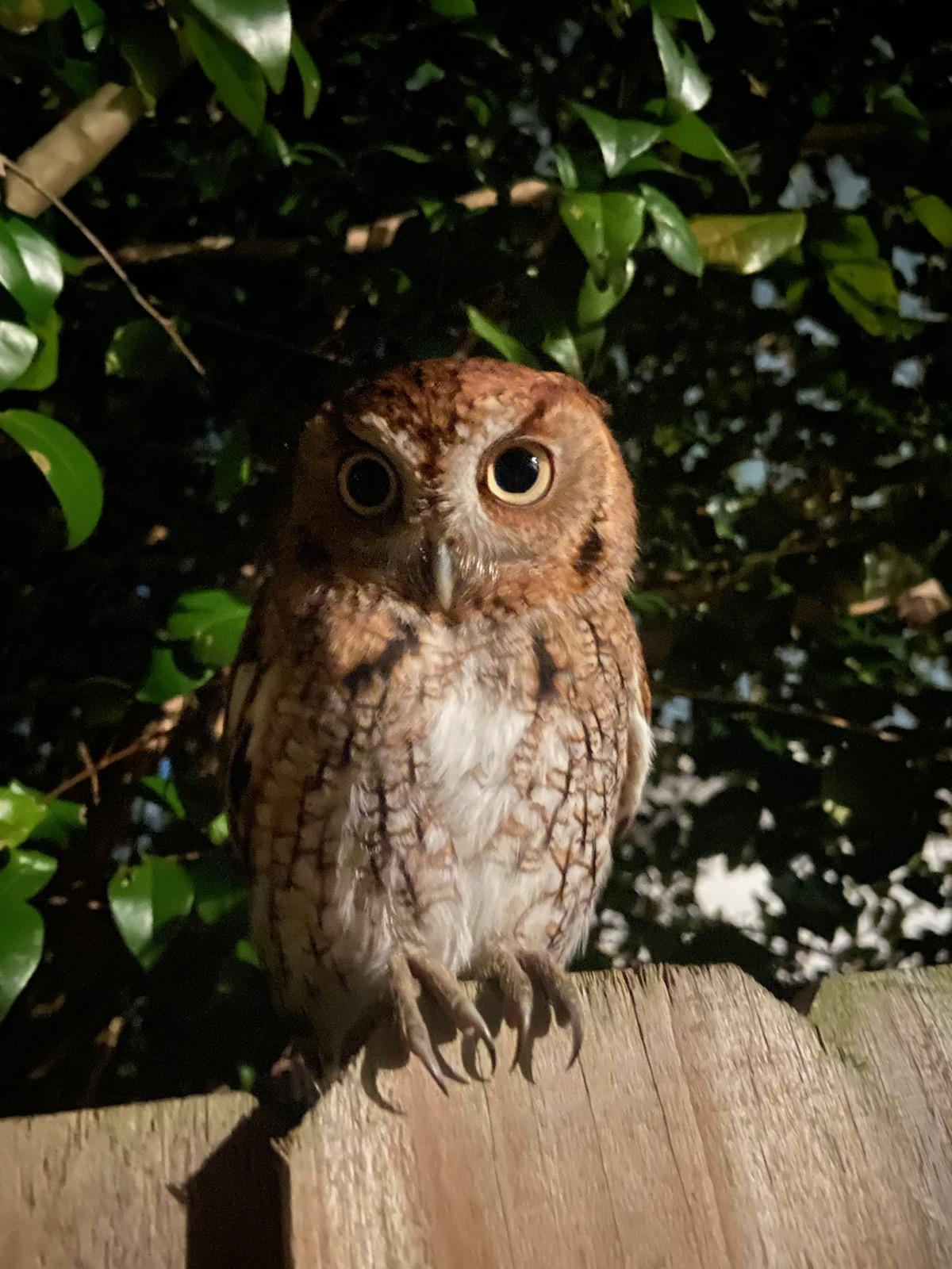 A close up night shot of a screech owl on a fence.