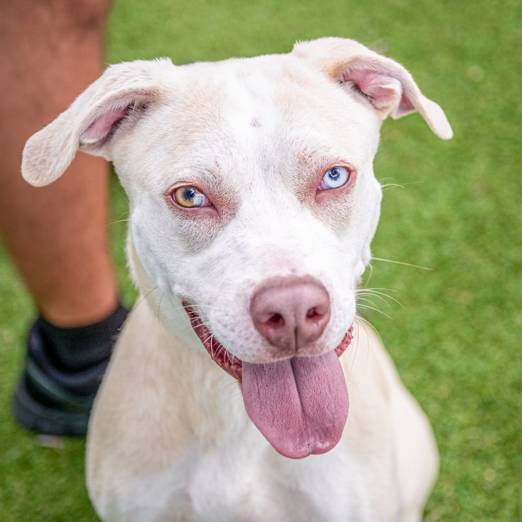 A blue-eyed white dog with floppy ears looking at the camera with tongue out.