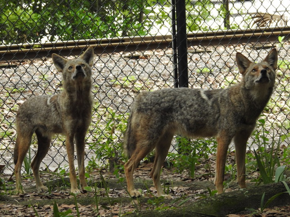 Two coyotes standing near a chainlink fence.