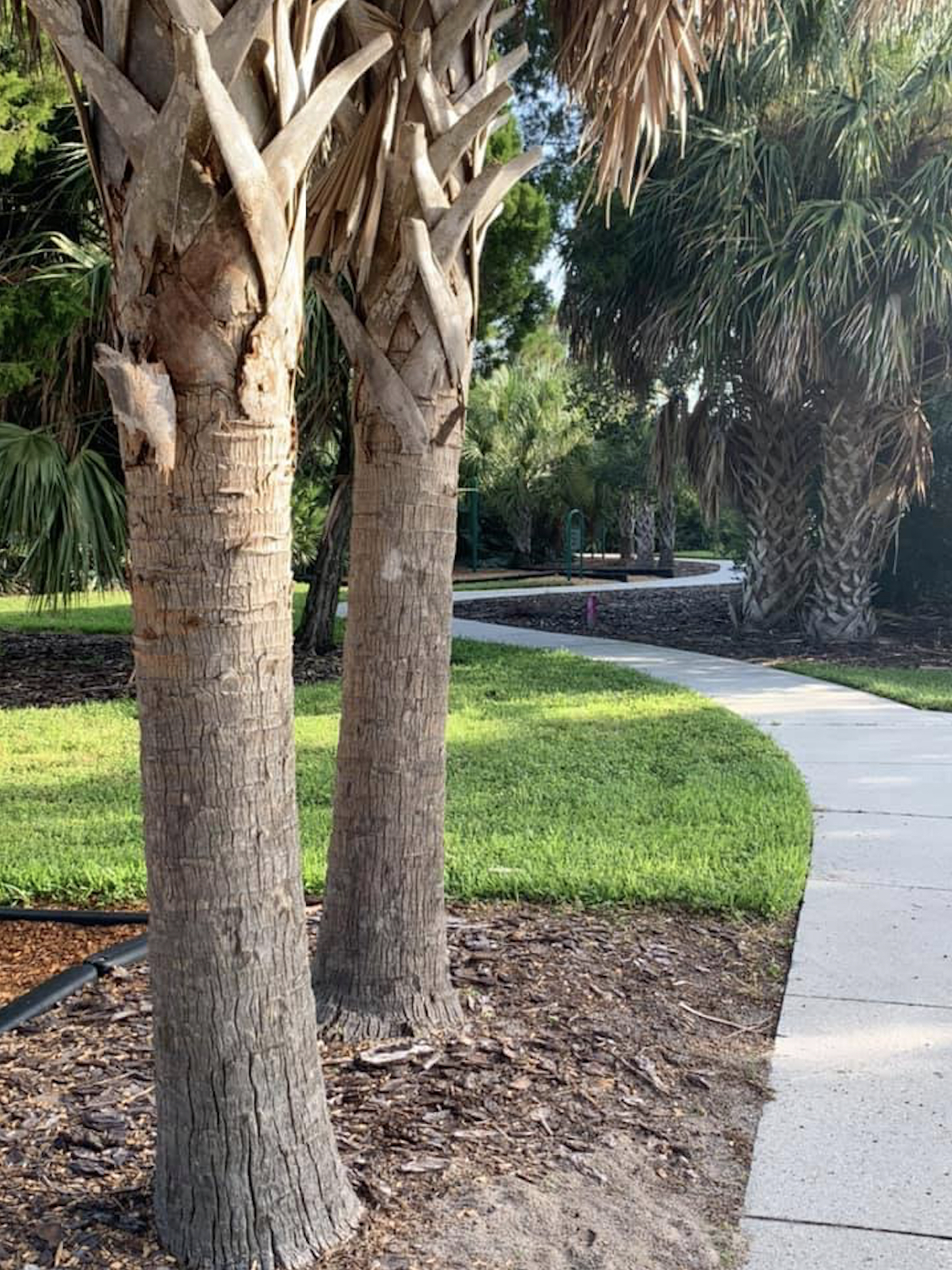 A photo of a path through a park with palm trees in the foreground.
