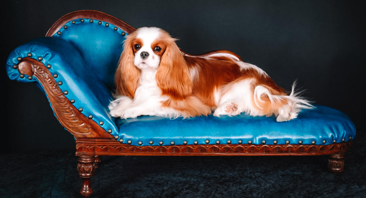 King Charles Cavalier Spaniel on a blue lounge seat.