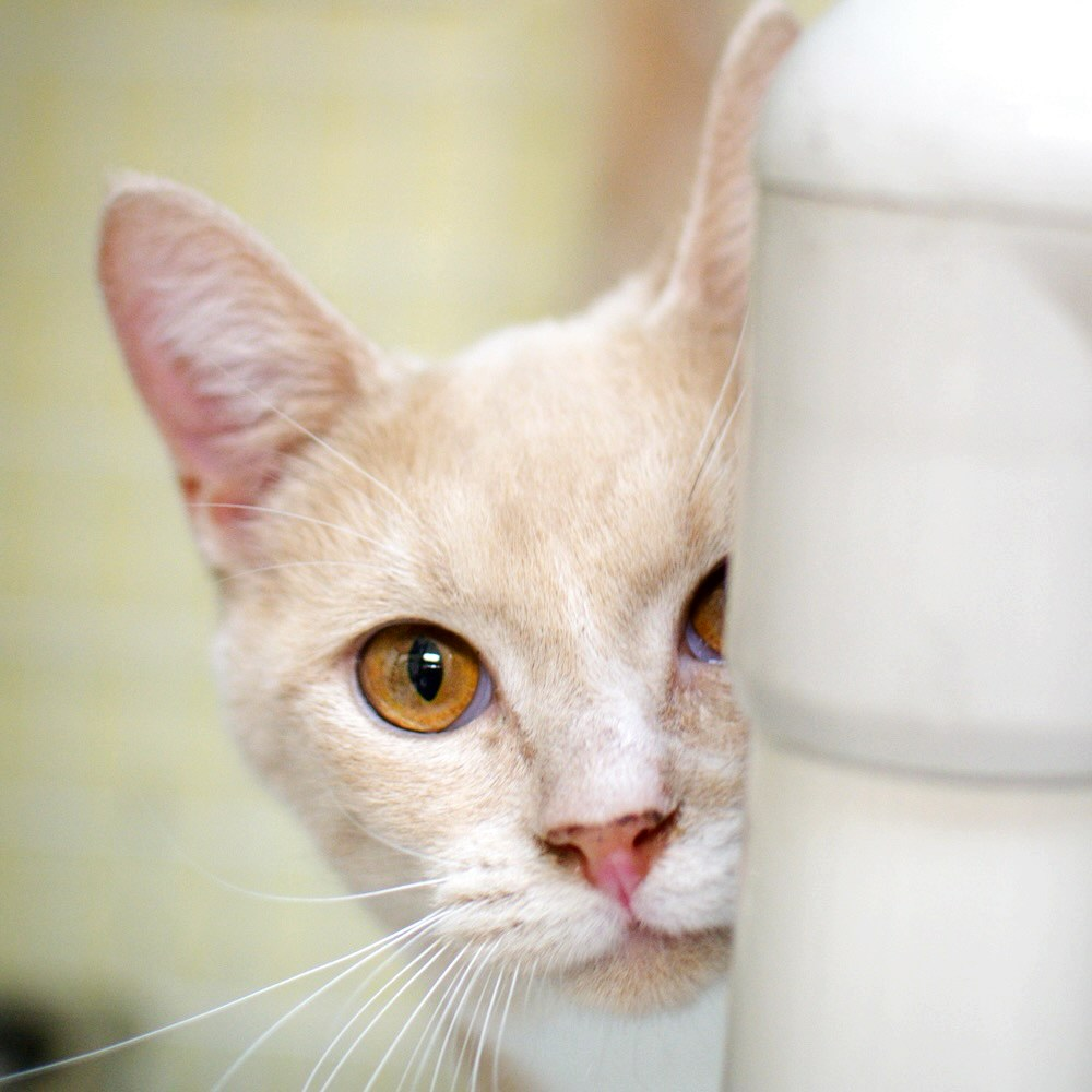Photo of a white cat peeking out from behind a white object.