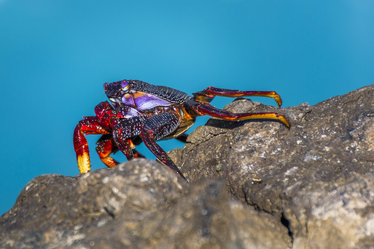 Red and purple crab on rock