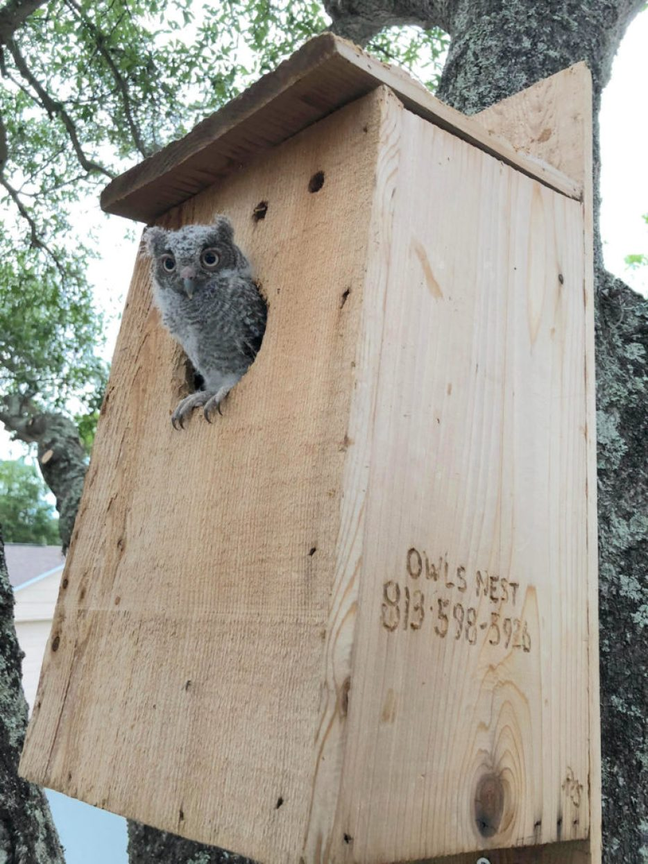 A photo of a small gray owl poking out of a wooden bird box nailed to a tree.