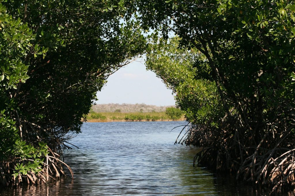 A photo of mangroves grown together over the water.