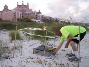 Joe Widlansky, a biologist with the non-profit Sea Turtle Trackers, opens a cage covering a loggerhead sea turtle nest whose eggs are expected to hatch any day. The cage is designed to protect the hatchlings and prevent them from heading toward the beach lights instead of toward the sea. The nest is one of several near the Don CeSar on St. Pete Beach.
