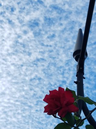Red Rose + Blue Sky
