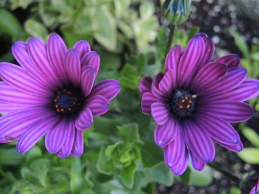 The black center of this African Daisy adds drama