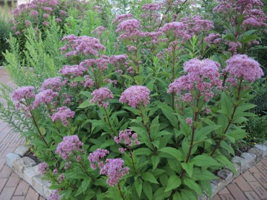Butterfly And Bee Magnet Joe Pye Weed The Garden Diaries