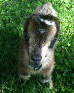 Adorable goat face